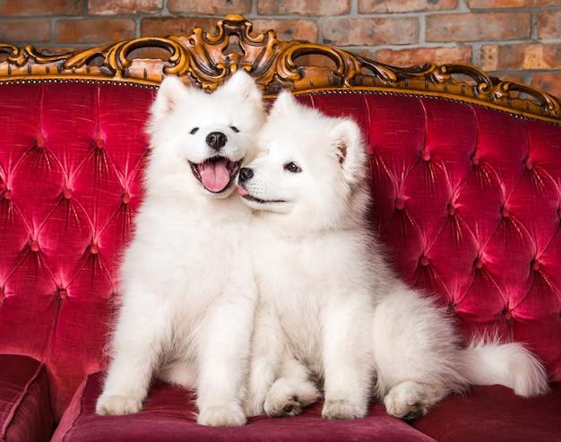Забавные влюбленные щенки самоеда целуются на красной роскошной кушетке