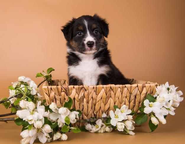 オーストラリアンシェパードの茶色の茶色の子犬犬のバスケット