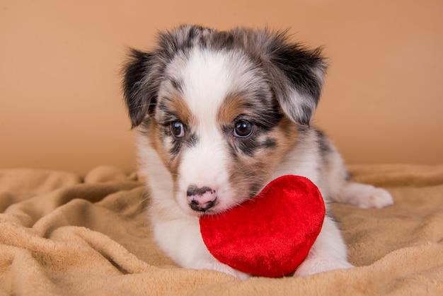 赤いハートの赤いメルルオーストラリアンシェパードの子犬