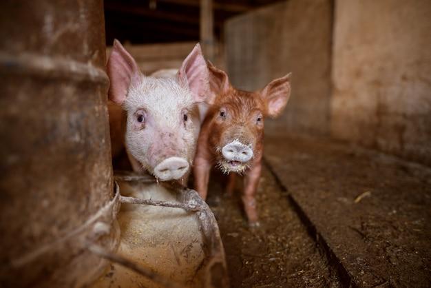 ファーム内の小さな子豚。