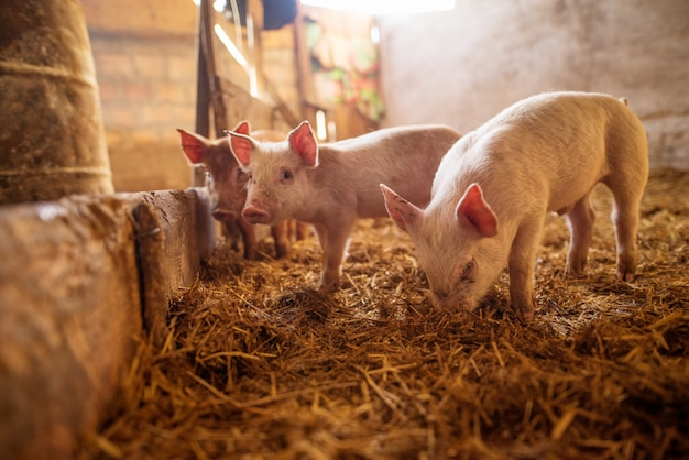 Маленькие поросята на ферме