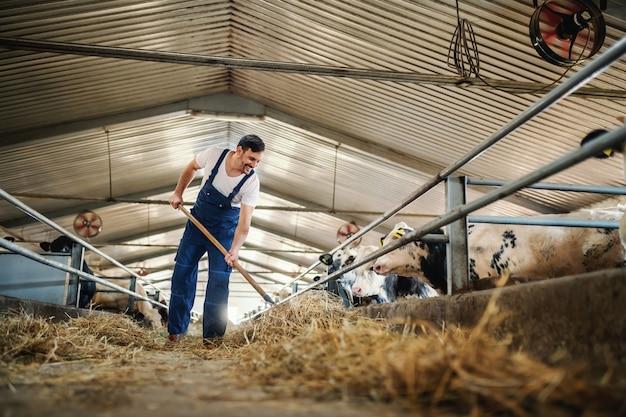 全体的に乾草を子牛に与えているハンサムな白人農家の全長。安定したインテリア。