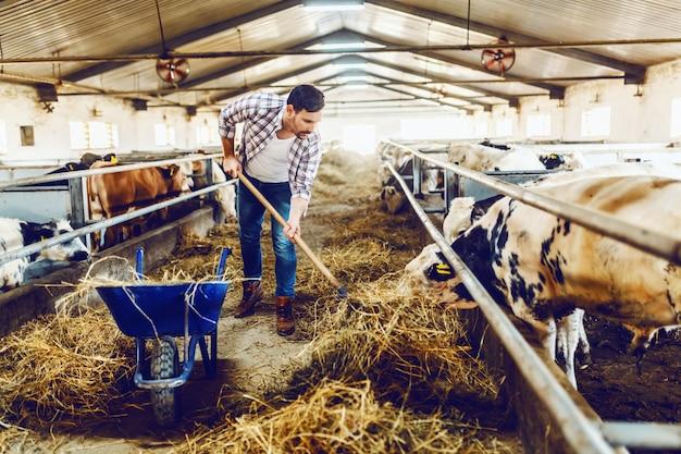 干し草のフォークを保持し、子牛に干し草を食べさせるハンサムな白人農民の全長。安定したインテリア。