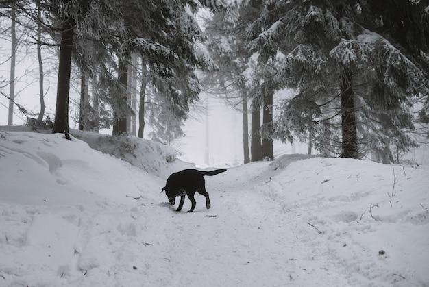 森の中の雪の中の黒いラブラドールの犬