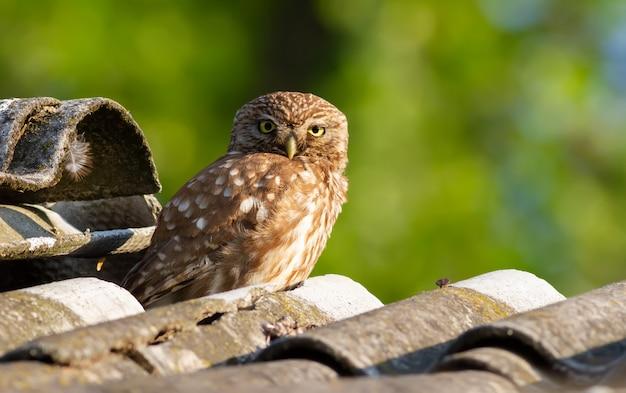 古いスレート屋根の上に座ってコキンメフクロウ