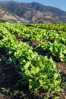 肥沃なフィールドで新鮮なレタス植物の行。レタス畑。