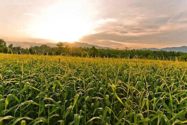 晴れた日のトウモロコシ畑、青い曇りのあるトウモロコシ畑