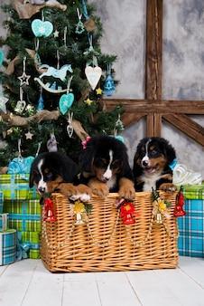 犬のバーニーズマウンテンの子犬、クリスマスと新年
