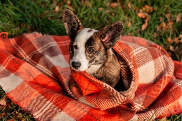 秋の黄色の葉のウェルシュコーギー犬は格子縞で着用します