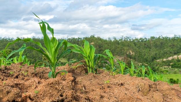 Кукурузные поля - тема для сельского хозяйства. маленькие кукурузные растения.