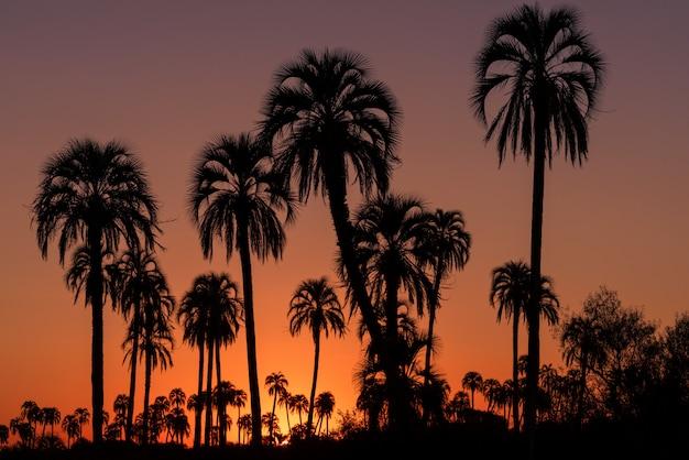 日の出または日没の砂糖ヤシの木のシルエット