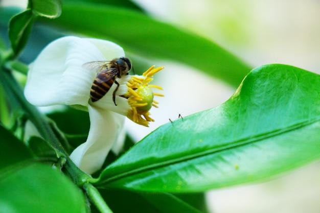クローズアップの蜂ポメロの白い花