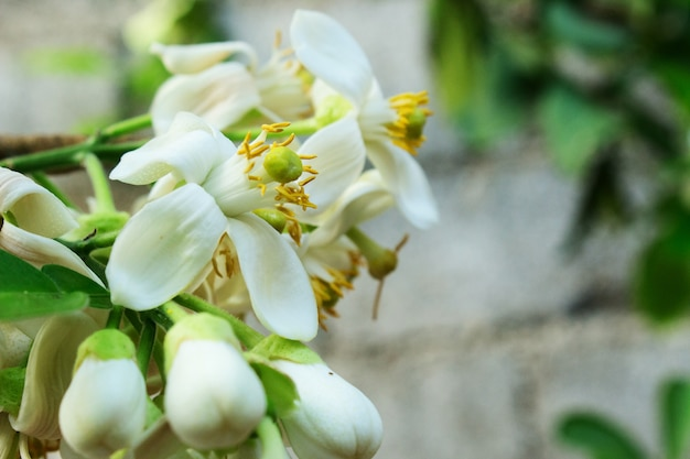 シトラスグランディス、シトラスマキシマ、ポメロの白い花を閉じる