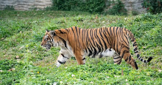 動物園のベンガルトラ