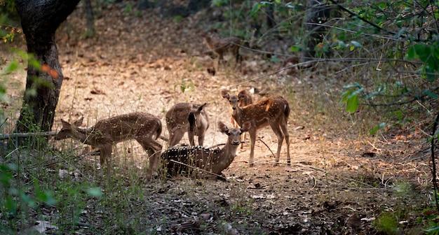 Группа осей оленей