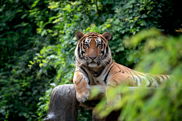 Бенгальский тигр отдыхает среди зеленых кустов