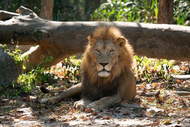 Мужской лев отдыхает в зоопарке