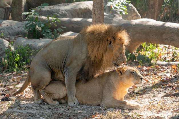 交尾中のライオンのカップル