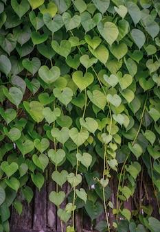 Изображение растения с зелеными «сердечными» листьями