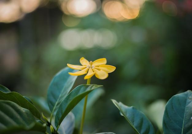 Гардения карината цветок