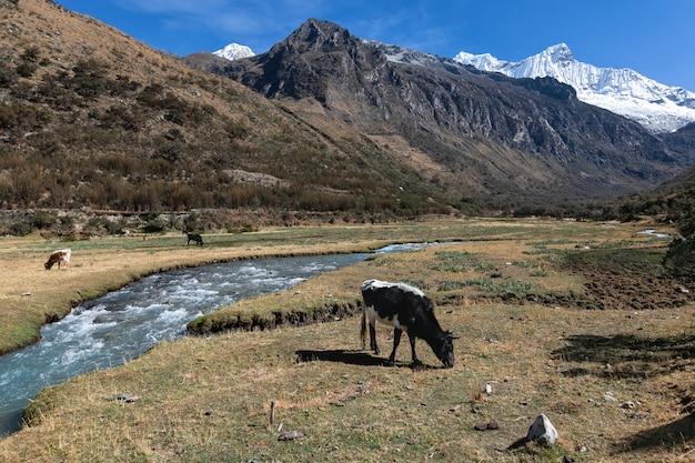 高山地帯ワスカラン国立公園の夏の牧草地の牛