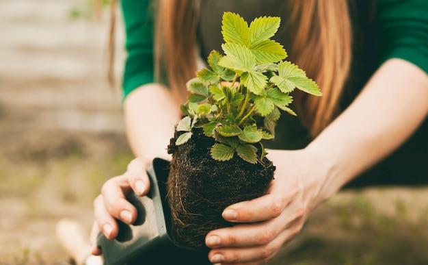 若い女性はイチゴをポットから土壌に移植しています