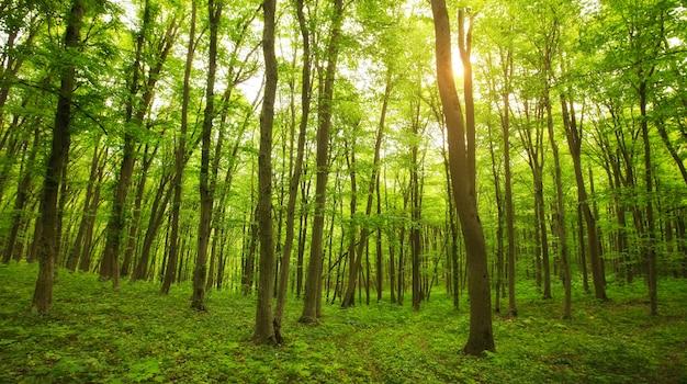 美しい朝の緑の森