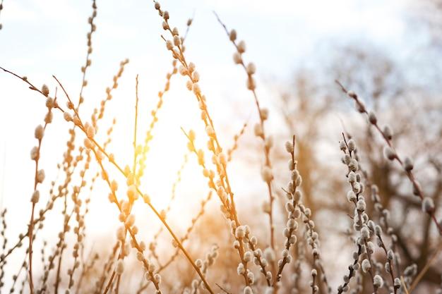 夕日に猫の柳の枝を開花