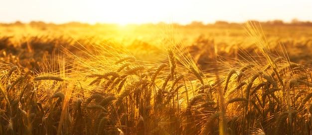 日没の小麦畑