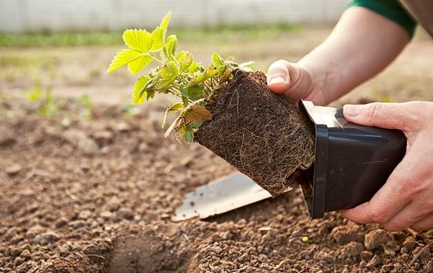 若い女性はポットから土にイチゴを移植しています