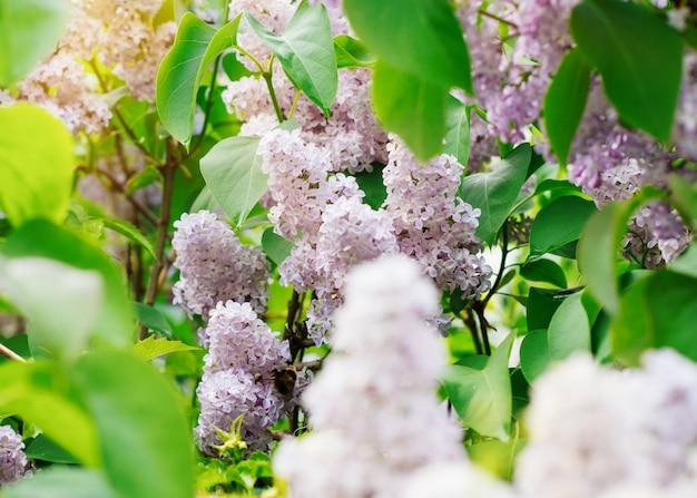 紫色のライラックの花と素晴らしい日に枝の葉