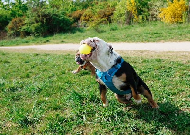 Черно-белый английский бульдог на прогулке прыгает и ловит мяч на траве
