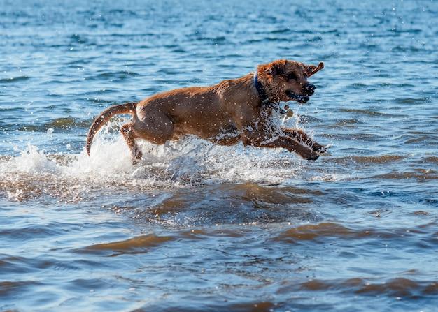 Красная собака бежит и играет в воде
