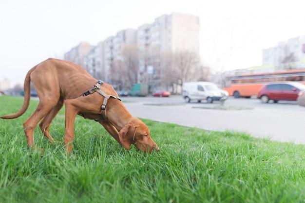 茶色の犬が緑の草を嗅ぐ
