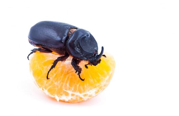 Кокосовый жук-носорог на очищенном апельсине