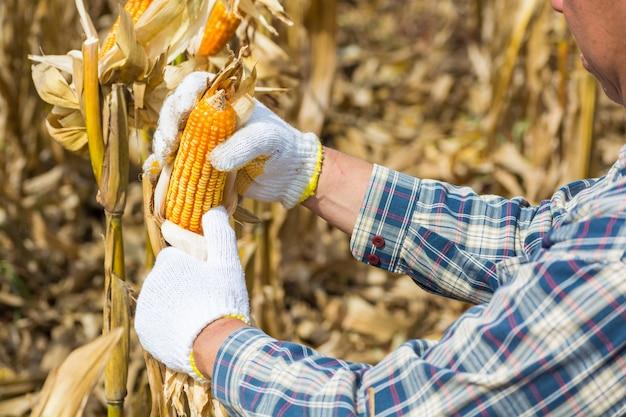 植物のトウモロコシの穂軸を保持または収穫する手または男性または男性農家