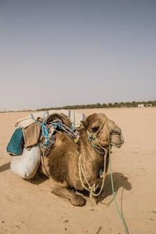 ラクダは砂漠で旅行するのを待っている