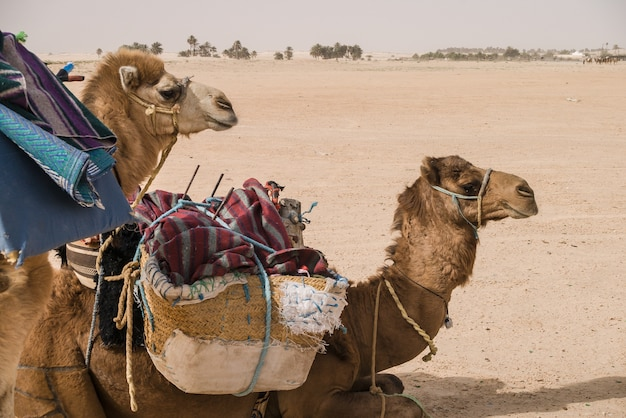 砂漠のサハラに積み込まれるのを待っているラクダ