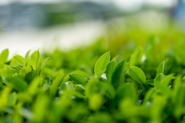やわらかい茶葉の上の緑茶葉自然旅行のアイデアコピースペース付き