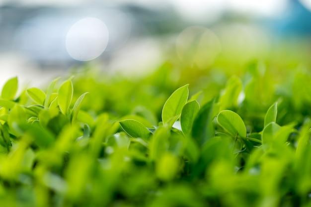 柔らかい茶葉の上の緑茶の葉自然旅行のアイデア