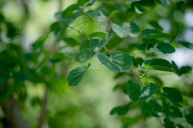 緑の葉は雨季には緑地にあります。