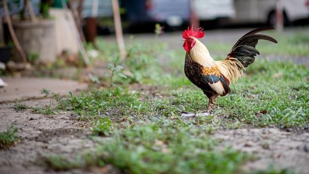 家の中の美しい小さなバンタム鶏芝生の中で食べ物を探します。