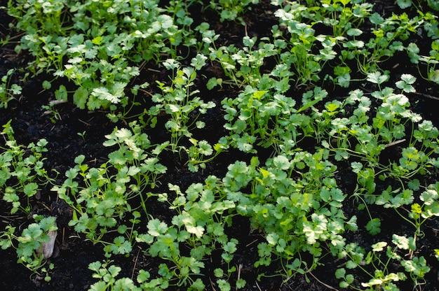 コリアンダーガーデンからの食糧として食べるために植えられた庭から。