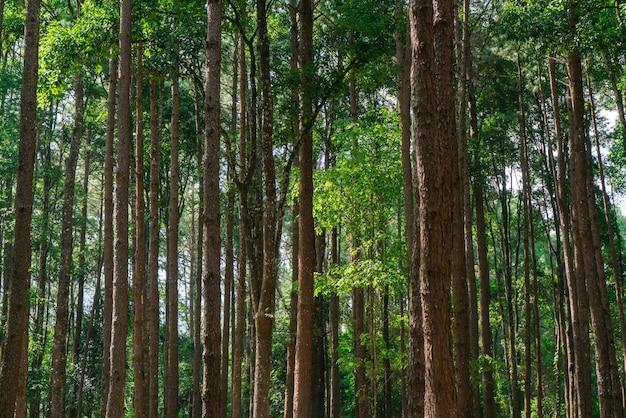 公園の多くの松の木。きれいに並べ替えられました。