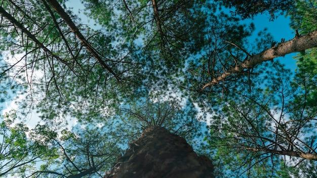 公園の多くの松の木