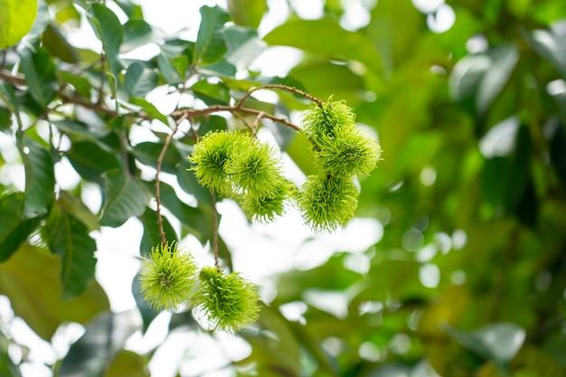 Рамбутан из зеленых рамбутановых деревьев