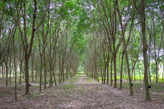 ゴムの木(パラゴムノキ)はラテックスを生成します。