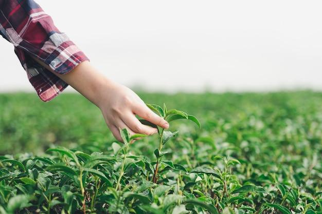 アジアの女性の手が茶畑から茶葉を拾う、新しい芽