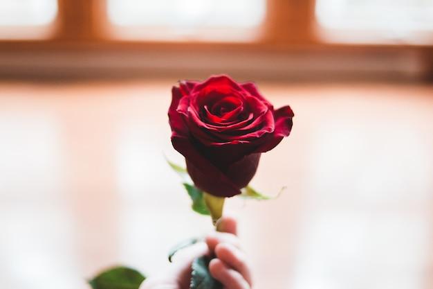 Цветок красной розы