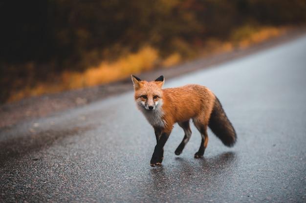 Коричневая лиса на серой асфальтовой дороге в дневное время